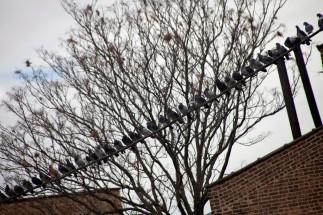 Pidgeons on a Line
