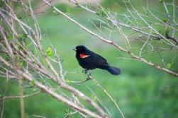 Blackredbird