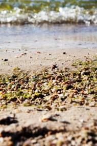 Песчаная Algae