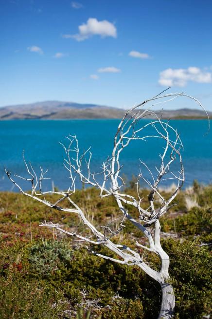 Lago Pehoé White Tree