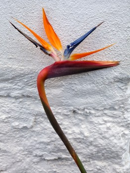 Faial São Pedro Bird of Paradise Wall
