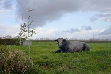 Faial São Pedro Cow