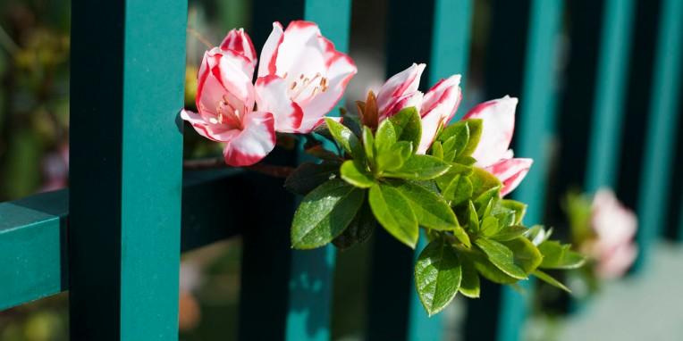 São Miguel Fajã de Baixo Flowers
