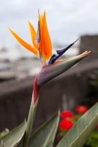 São Miguel Ponta Delgada Bird of Paradise with Bug