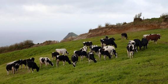 São Miguel Sete Cidades Cows
