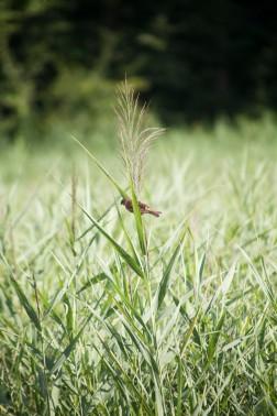 Bird Grass