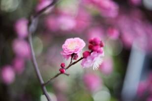 桜bokeh