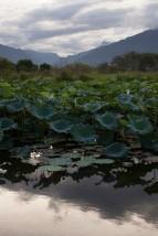 池上蓮花池1