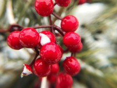Red Berries Macro