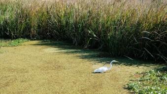 Egret in Algae