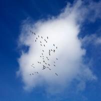 Sandhill Flock Over Cloud 1